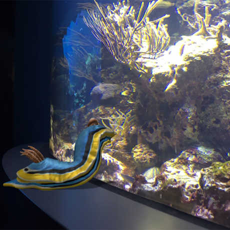 Nudibranch in aquarium