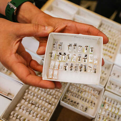 Hands holding a box of pinned ant specimens