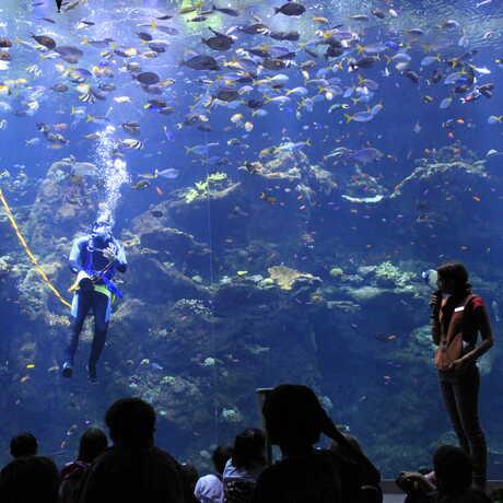 volunteer diver in Philippine Coral Reef tank