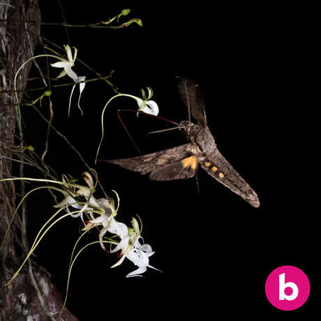 A sphinx moth hovers to pollinate a ghost orchid at night