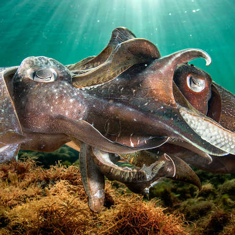 Two giant Australian cuttlefish engage in a tangled mating ritual. Photo by Justin Gillian