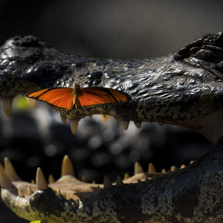 A heliconian butterfly drinks caiman tears. Photo by Wim van den Heever