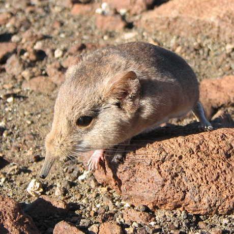 The Etendeka round-eared sengi in Namibia