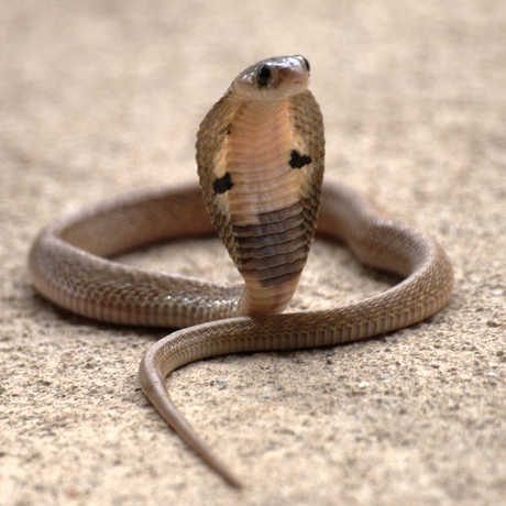 Naja (Indian cobra) juvenile