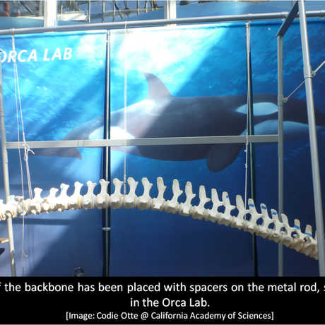 Backbone of Orca O319 at California Academy of Sciences