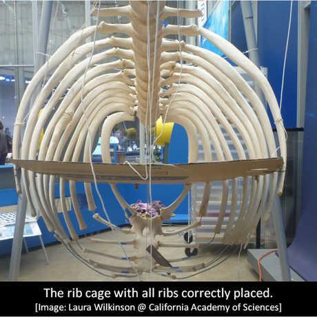 Orca O319's rib cage