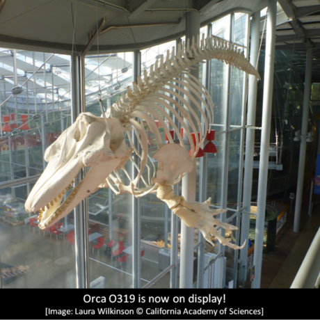 Orca O319 is now on display! Image: Laura Wilkinson @ CAS