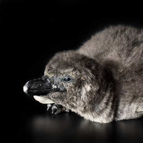 The Academy's penguin chick. Photo by Tim Wong