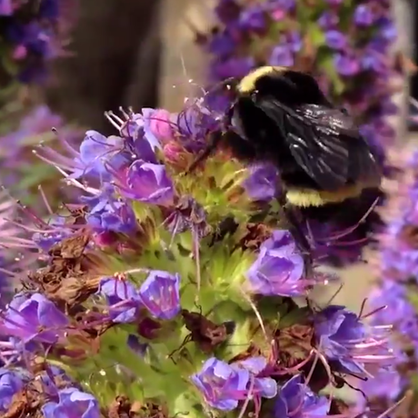 A honey bee rests on purple flowers