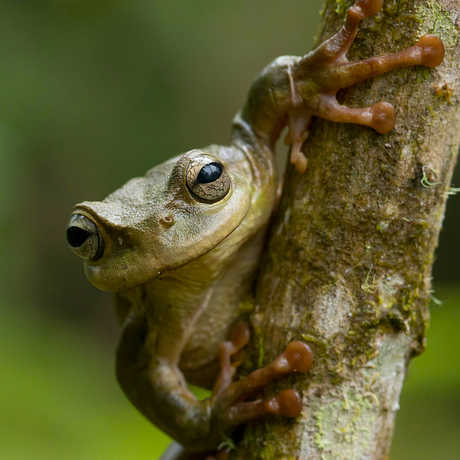 A tree frog stares at the camera from behind a tree trunk