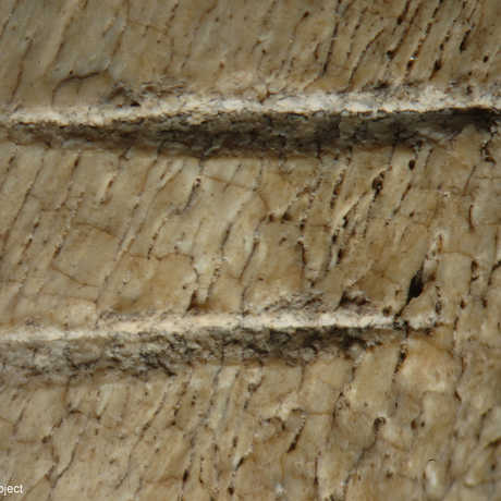 Two parallel cutmarks made by stone tools on the rib of a cow sized mammal.