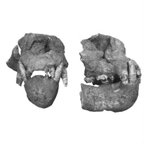 Image of the skull of Enhydriodon dikikae, a gigantic otter