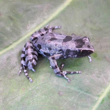 The Cyaneospila frog, photo by Dave Blackburn