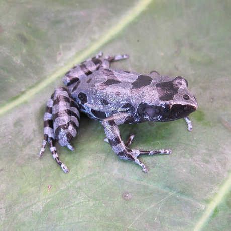 The Cyaneospila frog, photo by Dave Blackburn