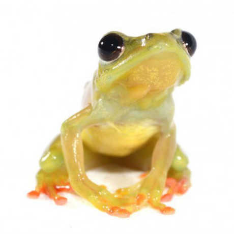 The Cameroonian frogs are part of a new initiative at the Academy focused on amphibian conservation and biodiversity education.