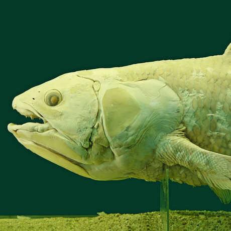 Closeup of a coelacanth head