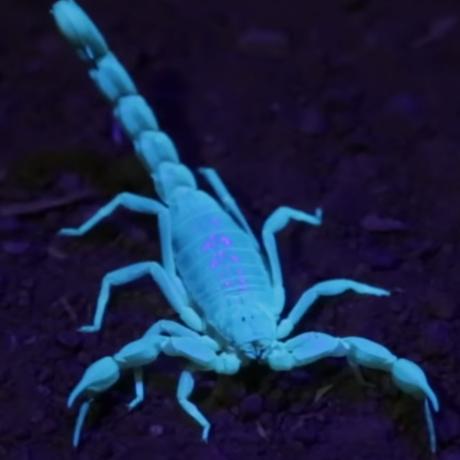 Scorpion fluorescing
