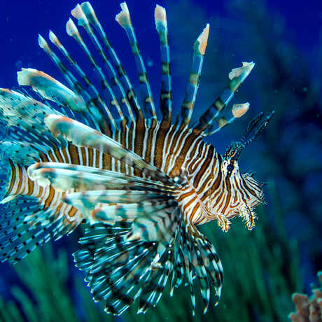 An invasive lionfish swimming in coral reefs in Belize