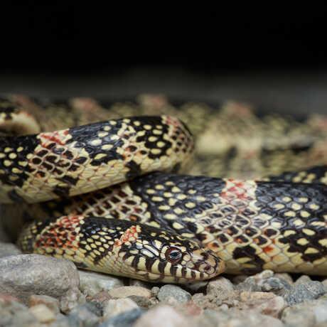 Long-nosed snake photo by Tony Iwane