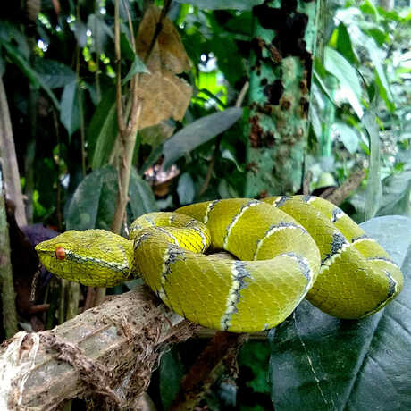 North Philippine Temple Pitviper seen during City Nature Challenge
