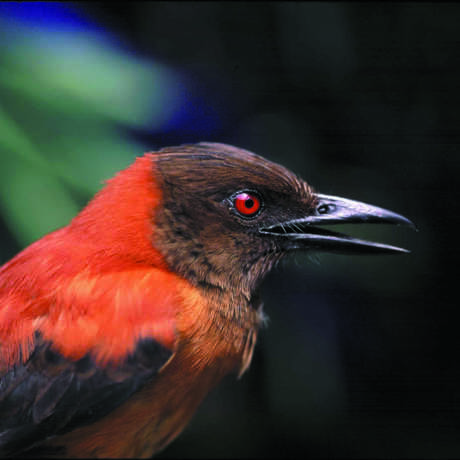 A Pitohui bird from New Guinea