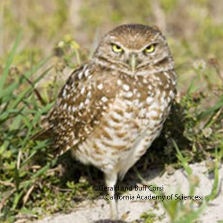 Athene cunicularia; Burrowing Owl