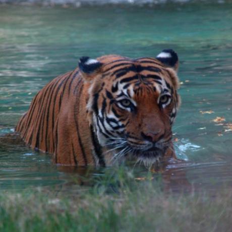 Malayan Tiger by Jöshua Barnett