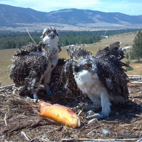 Osprey 54 (right) in the nest