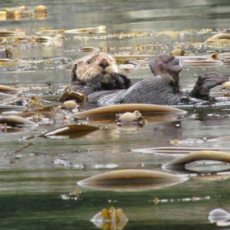 Otter in a kelp field, Alaska, photo by Doug Knuth