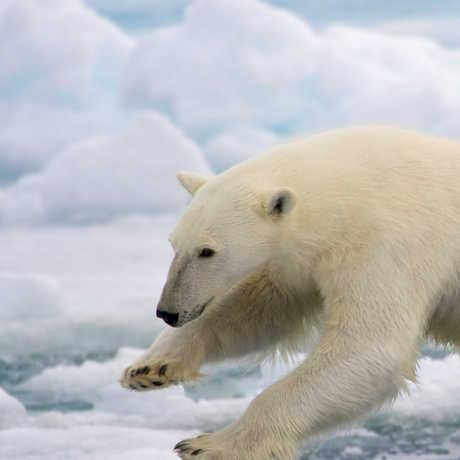 Polar bear in Norway