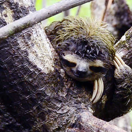 Photo of pygmy sloth