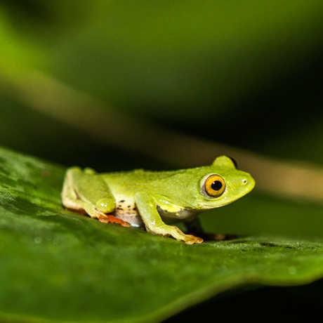 The São Tomé and Príncipe Reedfrog (Hyperolius molleri)