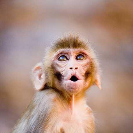 Rhesus macaque, Garrett Ziegler