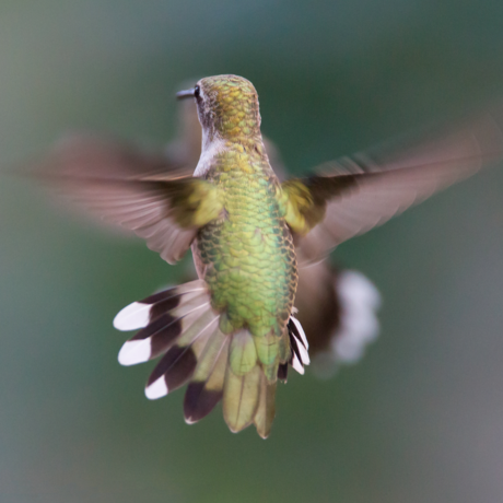 Ruby-throated hummingbird hovering