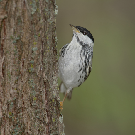 Blackpoll warbler by William H. Majoros