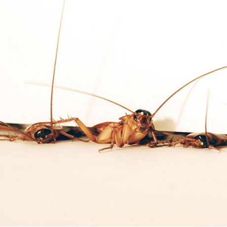 Sneaky cockroaches