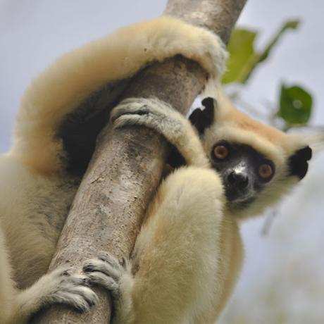 Sifaka lemur (Propithecus tattersalli), Sarah Federman