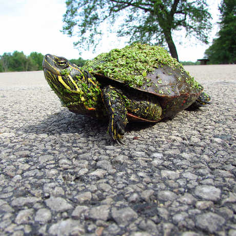 Adult female painted turtle crossing a road, Clare Adams