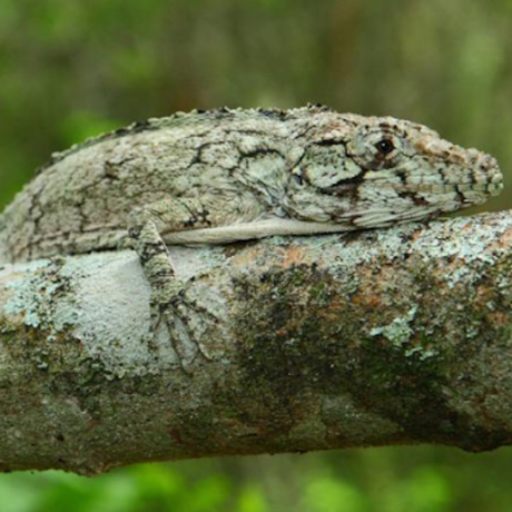 New anole from Domican Republic, Miguel Landestoy