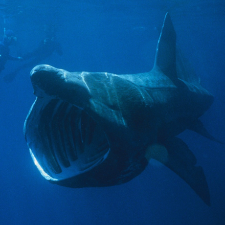 Basking shark