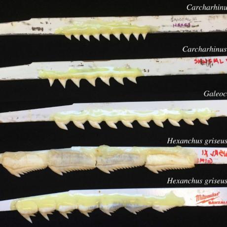 Shark tooth saw blades, University of Washington