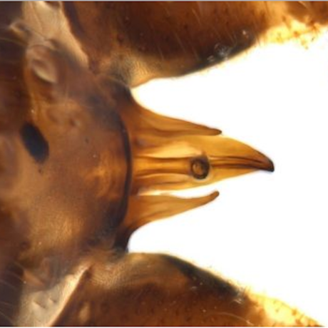 The special anatomy of Minipteryx robusta, Photo: OEH