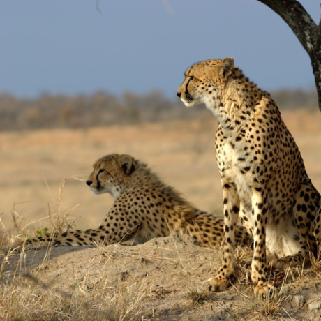 A cheetah coalition, Image: James Temple/Flickr