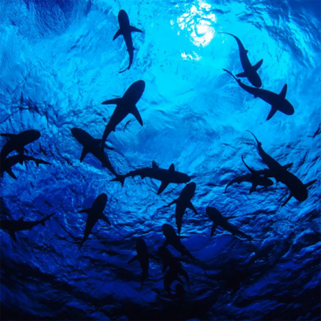 Underwater photo of shark silhouettes from below