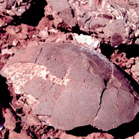 Titanosaur egg