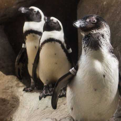 3 African penguins pose inside their exhibit at the Academy