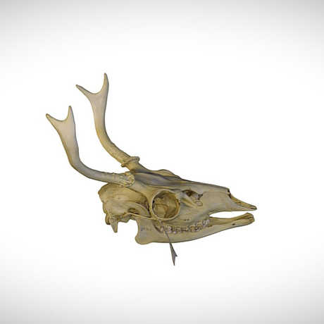 mule deer skull