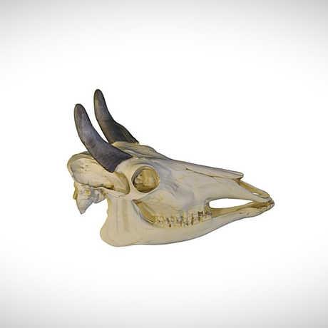 nilgai skull