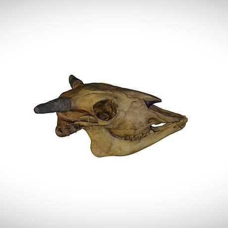 plains bison skull