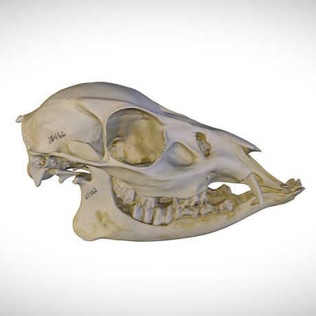 muntjac skull